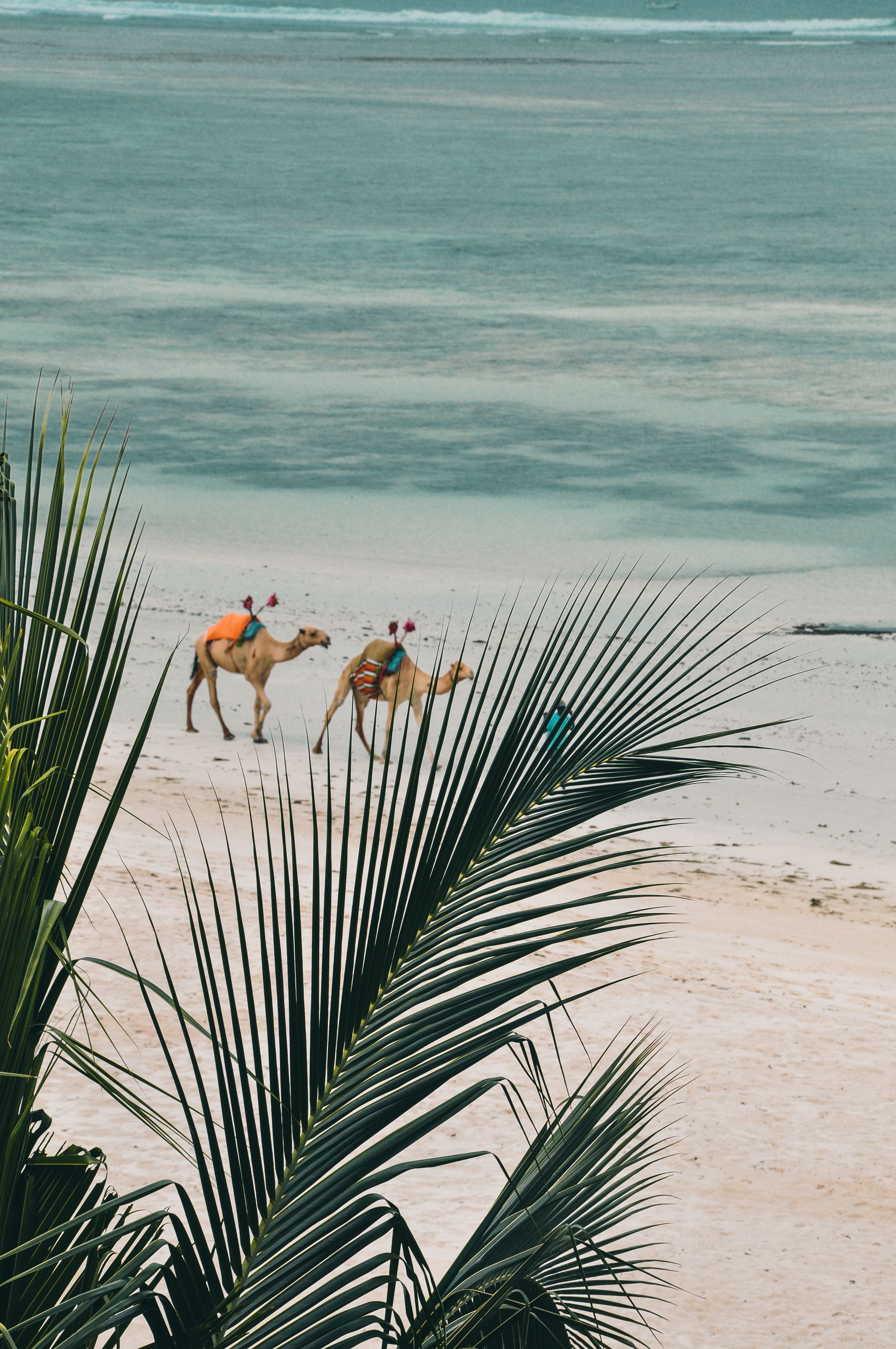 camels walking on beach - Mombassa