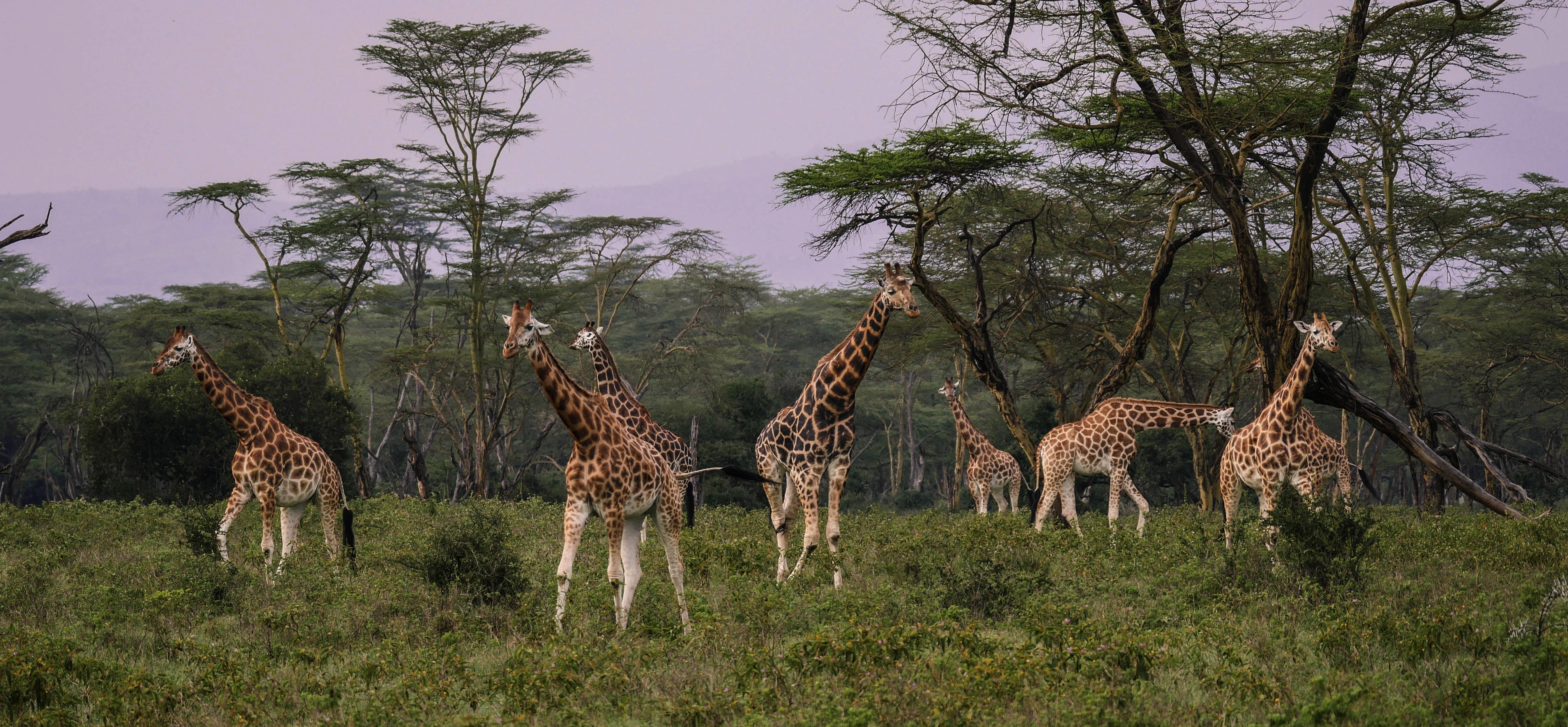 giraffes in masai rama